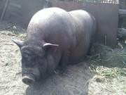вьетнамские вислобрюхие поросята,  свиньи разных возрастов и окраса.