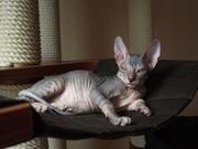 Котёнок девочка донского сфинкса от питомника