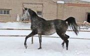 Продам арабскую чистокровную лошадь